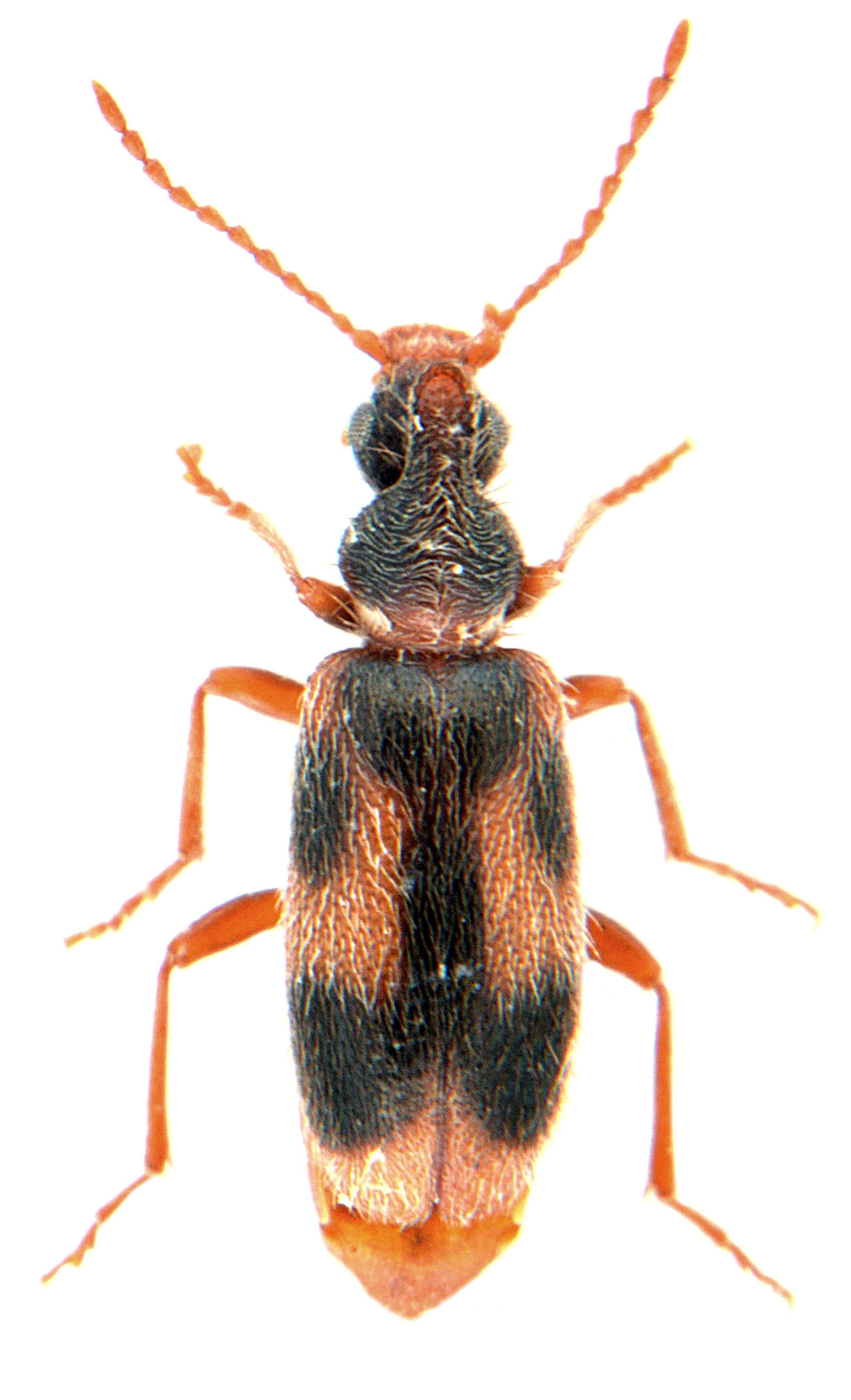 Notoxus monoceros 2