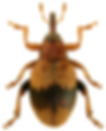 Rhynchaenus xylostei.jpg