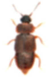 Megarthrus depressus 1.jpg