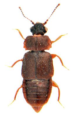 Megarthrus depressus