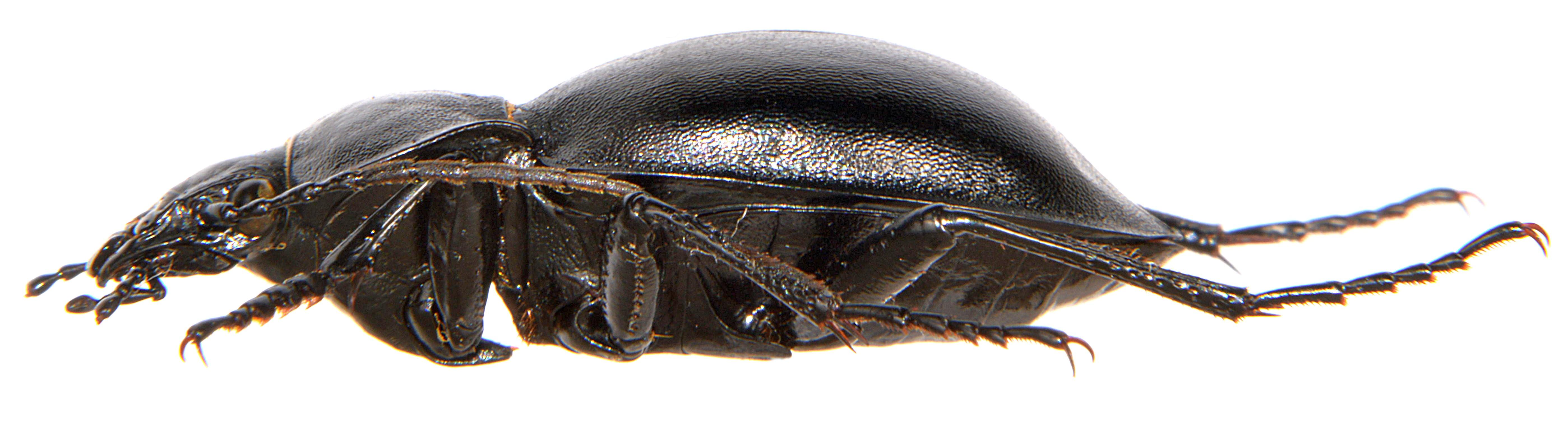 Carabus glabratus 3