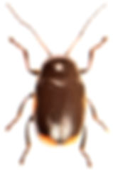 Cryptocephalus moraei 2.jpg