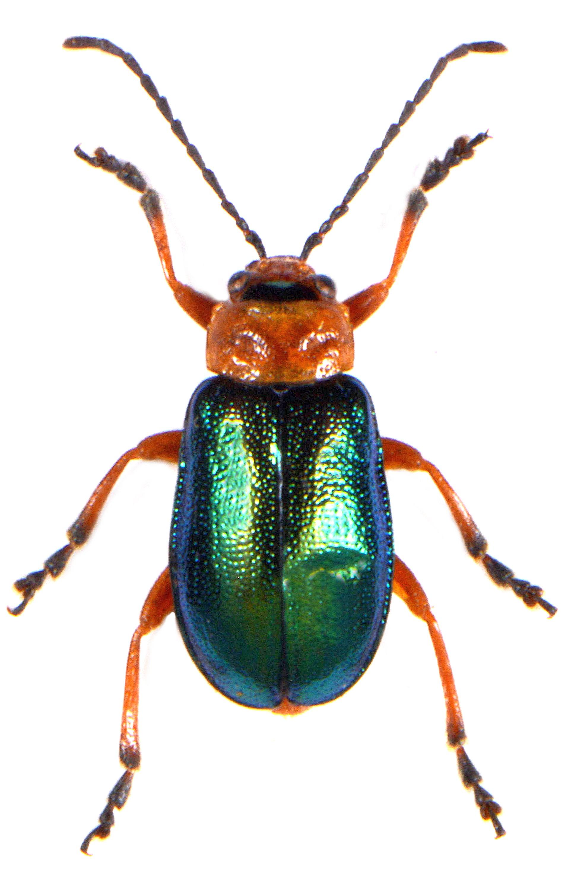 Sermylassa halensis 2