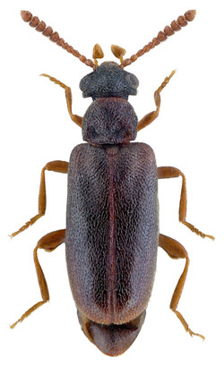 Vanonus brevicornis 2