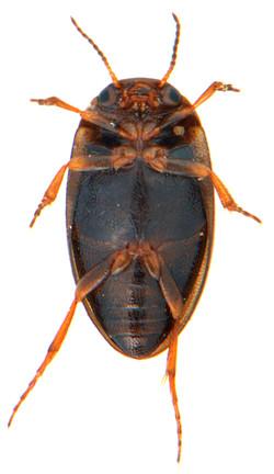 Hydroporus pubescens 3