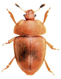 Cychramus luteus 1