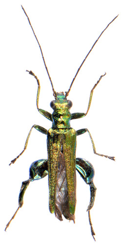 Oedemera nobilis ♂