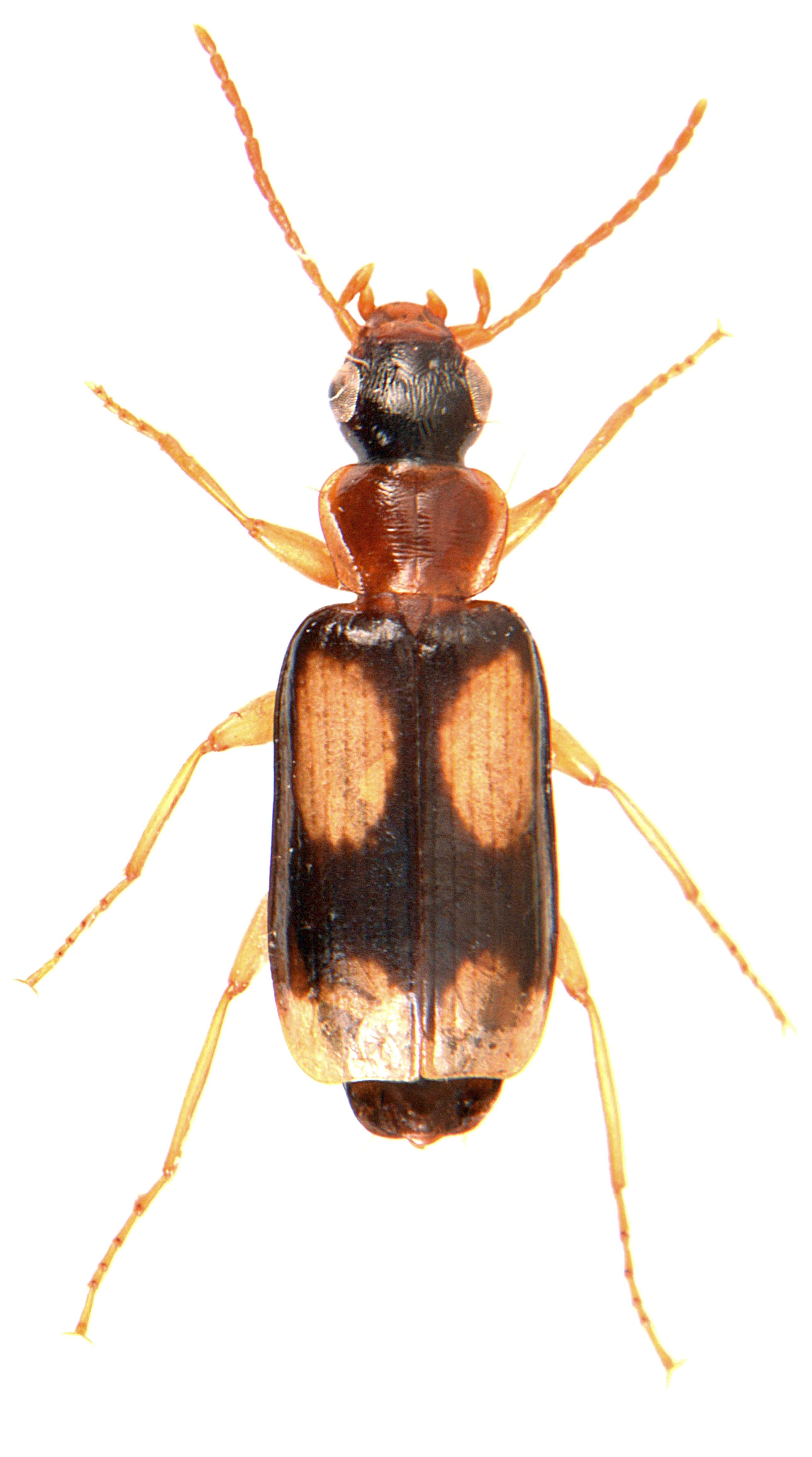 Dromius quadrimaculatus 3