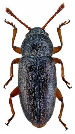 Telmatophilus caricis 2