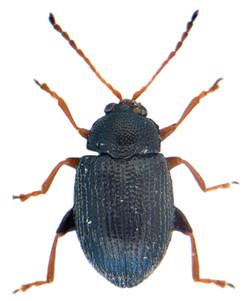 Epitrix pubescens 1