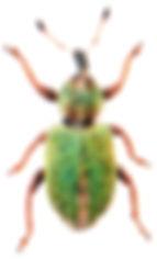 Hypera nigrirostris 1.jpg