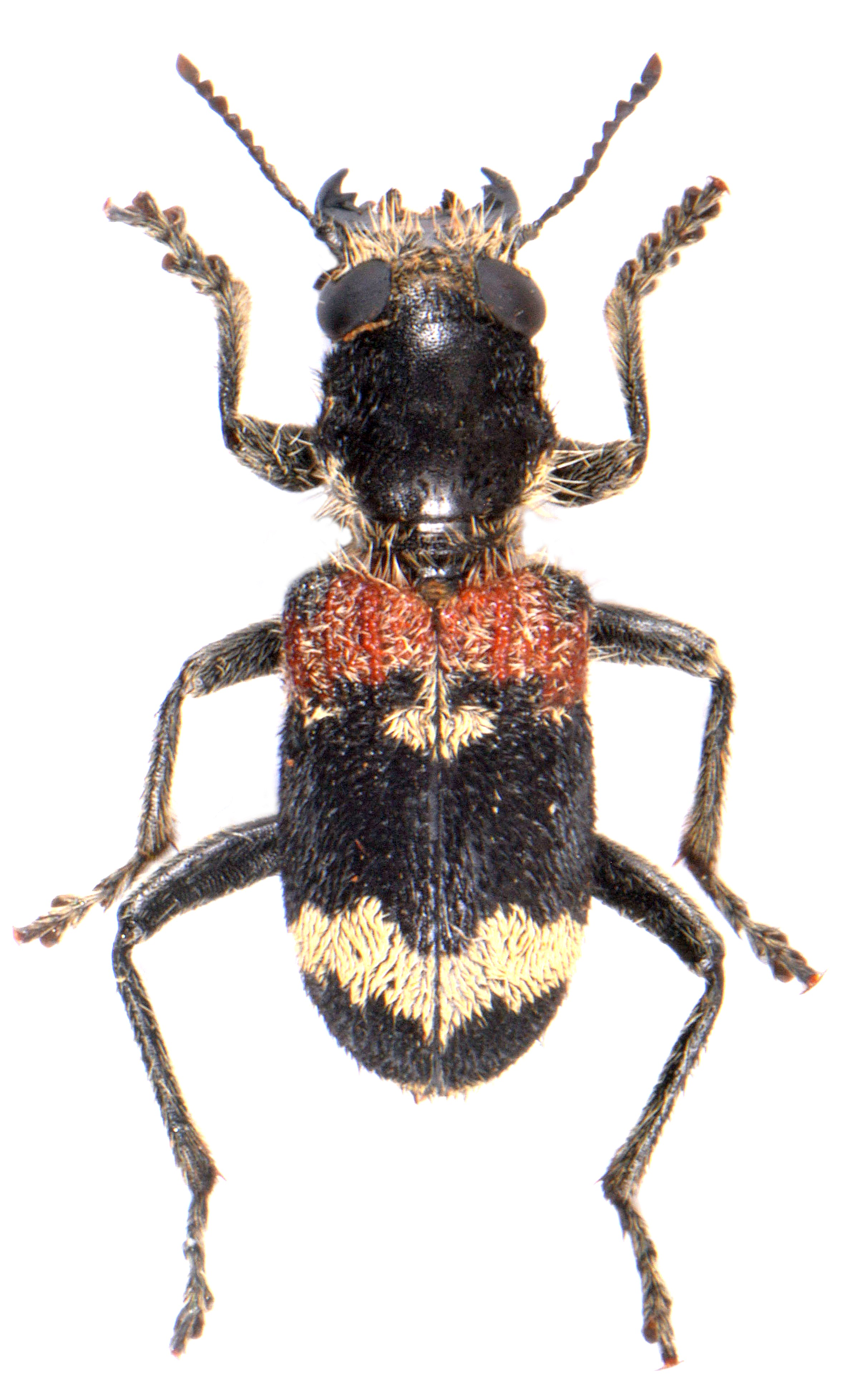 Clerus mutillarius (Slovakia)