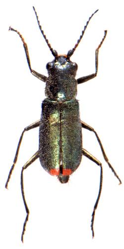 Cordylepherus viridis 2