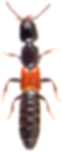 Megalinus glabratus 2.jpg