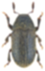 phloeotribus_rhododactylus_1.jpg