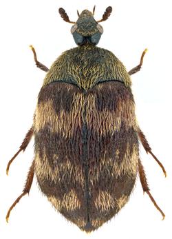 Attagenus trifasciatus