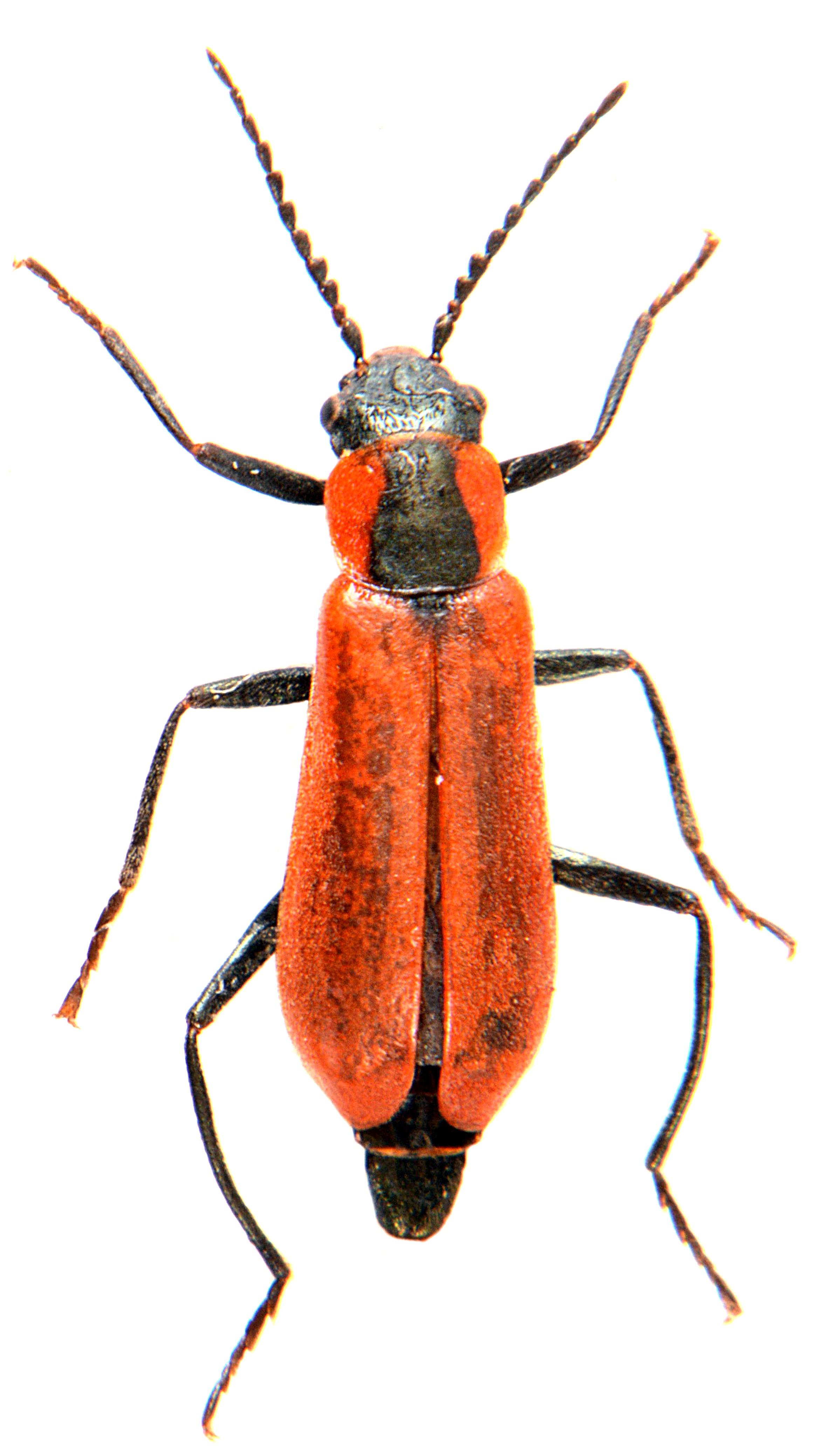 Anthocomus rufus 1