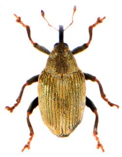 Drupenatus nasturtii 1