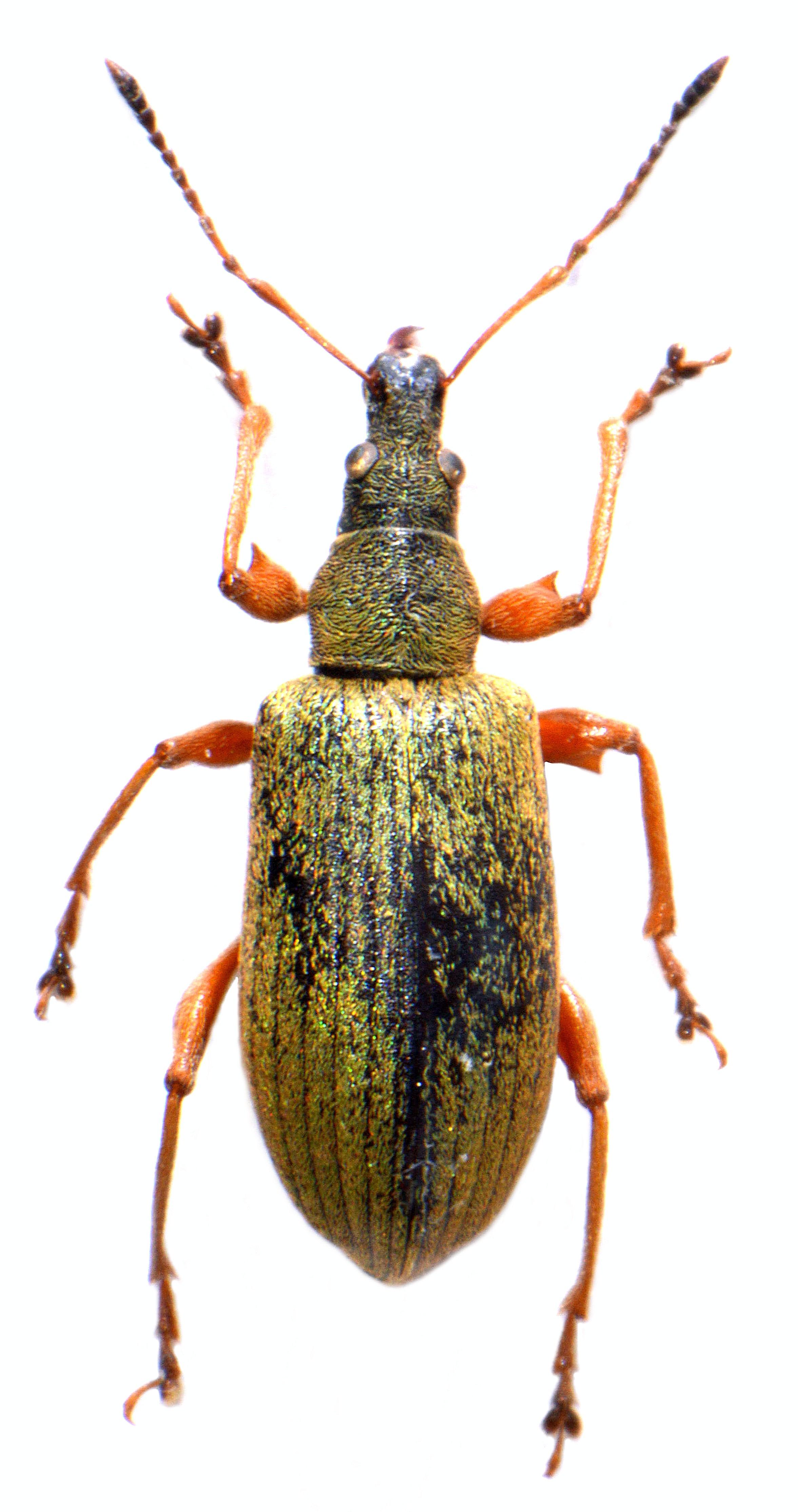 Phyllobius glaucus 3