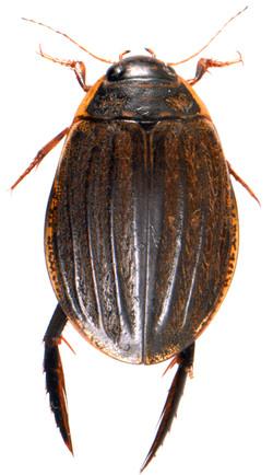 Acilius sulcatus 2