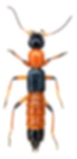 Paederus riparius 1a.jpg