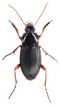 Calathus fuscipes