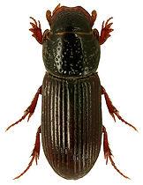 Pleurophorus caesus 1.jpg