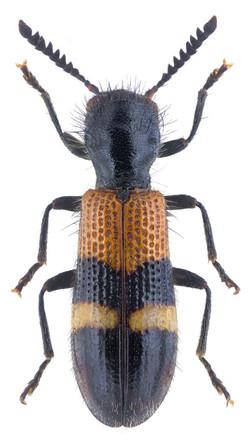 Tilloidea unifasciata 2