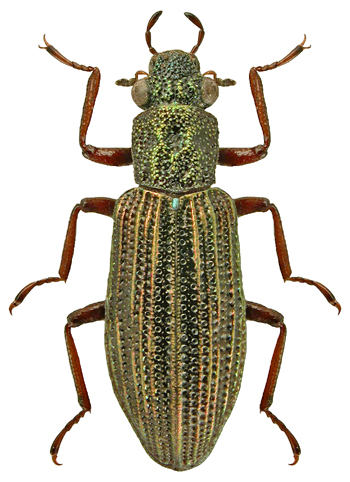 Hydrochus elongatus