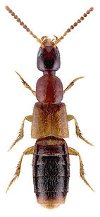 Gabronthus thermarum 1.jpg