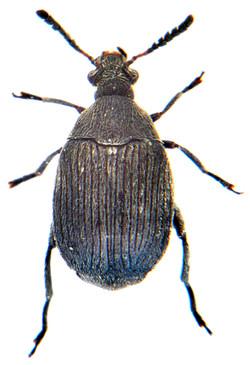 Bruchidius villosus 2