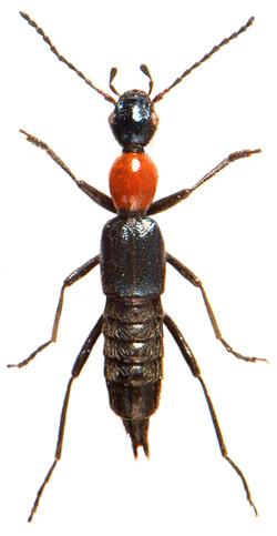 Paederidus ruficollis 2