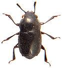 Brachypterus glaber 1.jpg