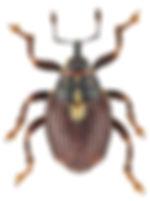 calosirus_terminatus_1.jpg