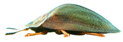 Cassida viridis 3