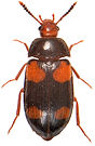 Mycetophagus quadripustulatus 2a.jpg