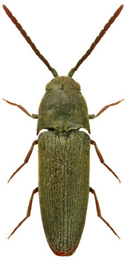 Hylis cariniceps 1