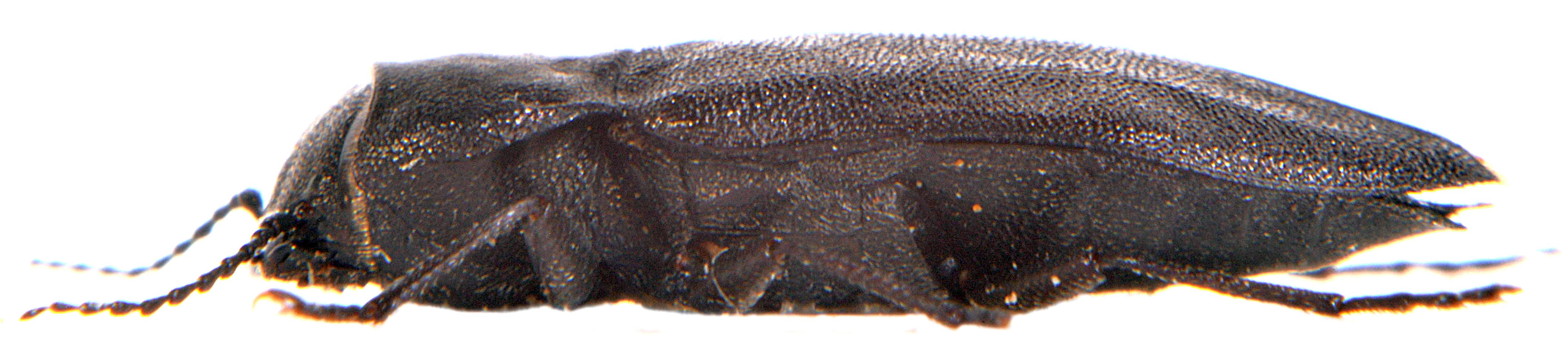 Melanophila acuminata 2