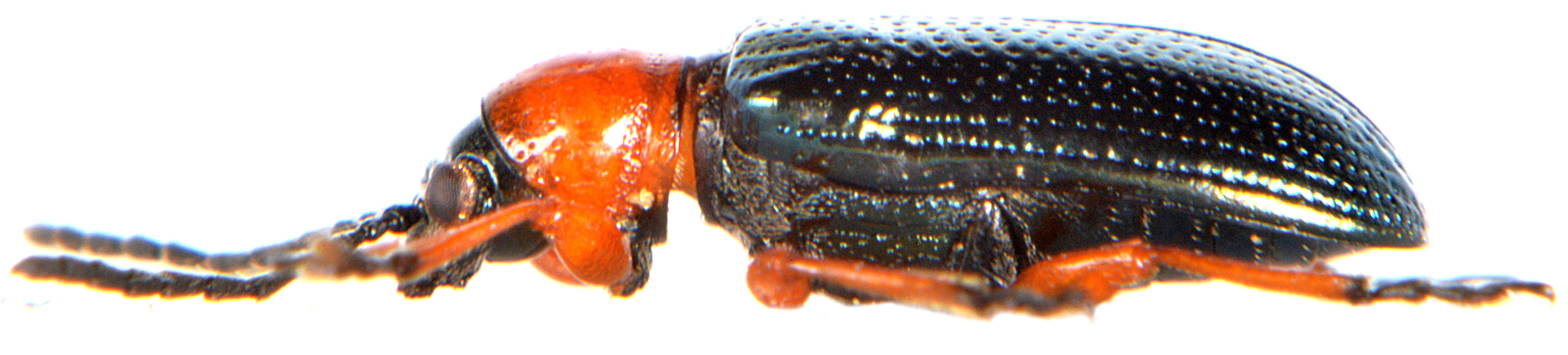 Oulema melanopus 4