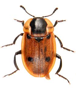 Dendroxena quadrimaculata 2