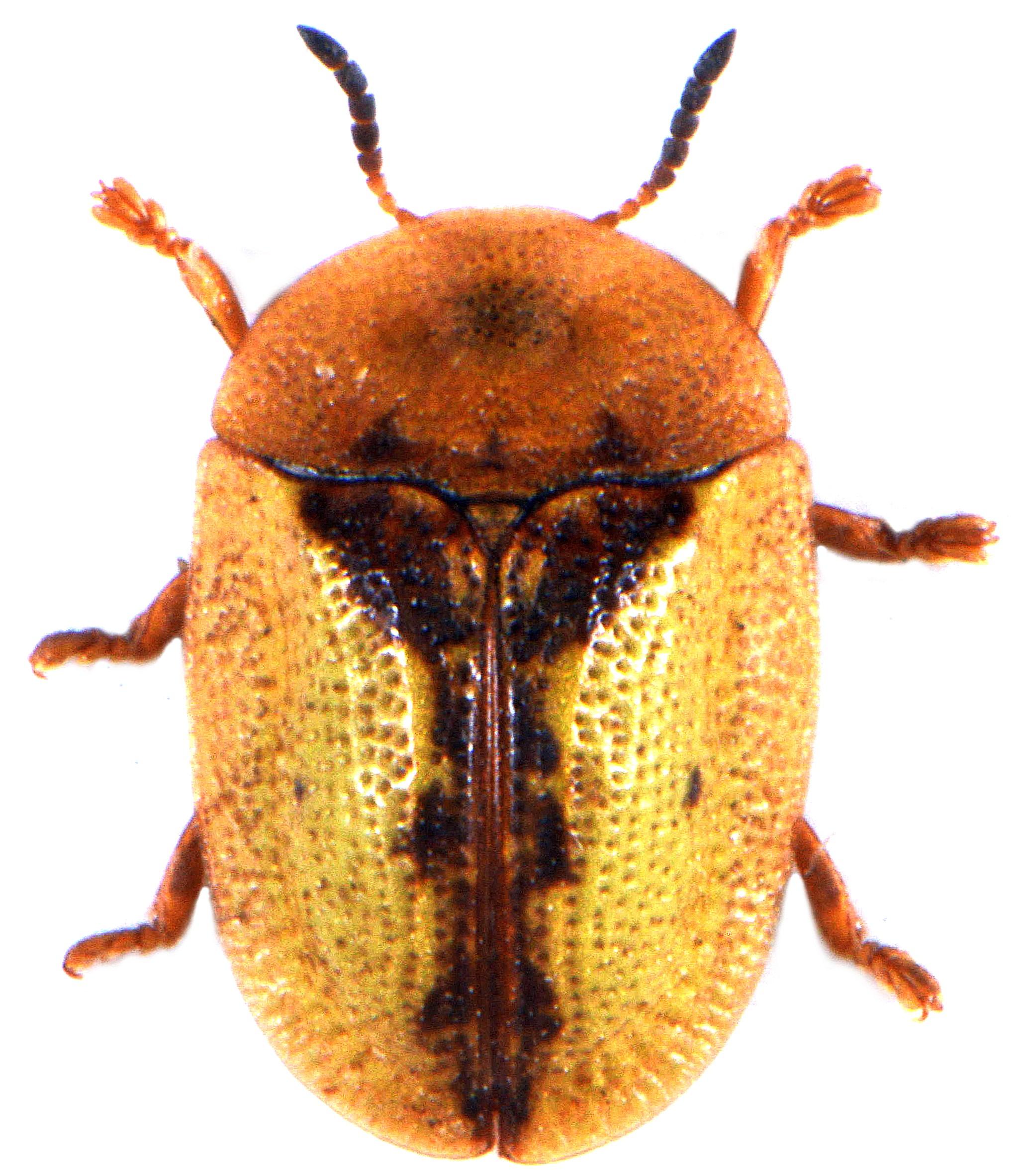 Cassida vibex