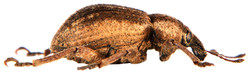 Brachypera zoilus 5