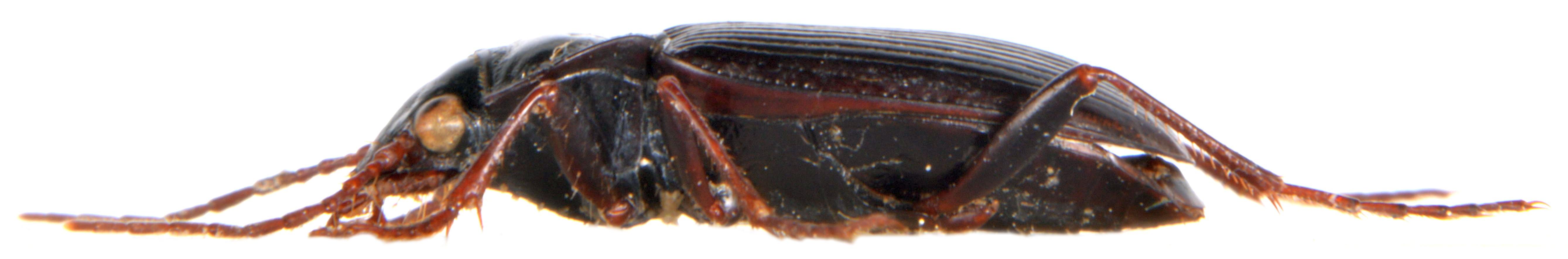 Nebria brevicollis 3