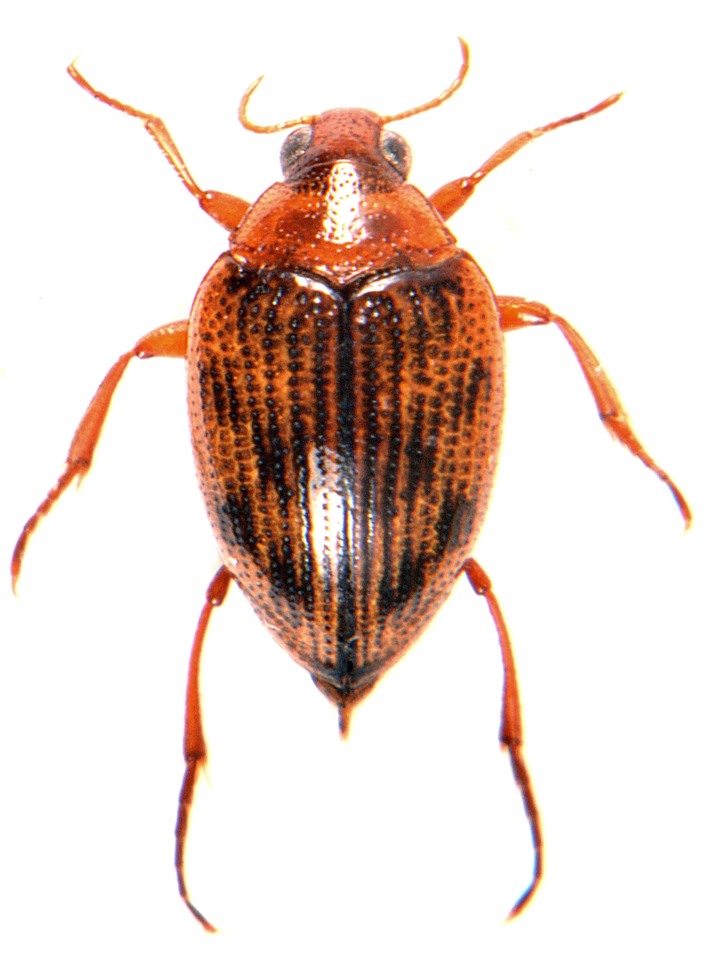 Haliplus ruficollis 1