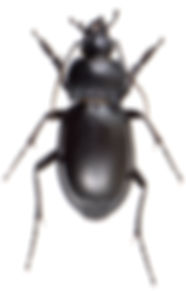Carabus glabratus 1.jpg