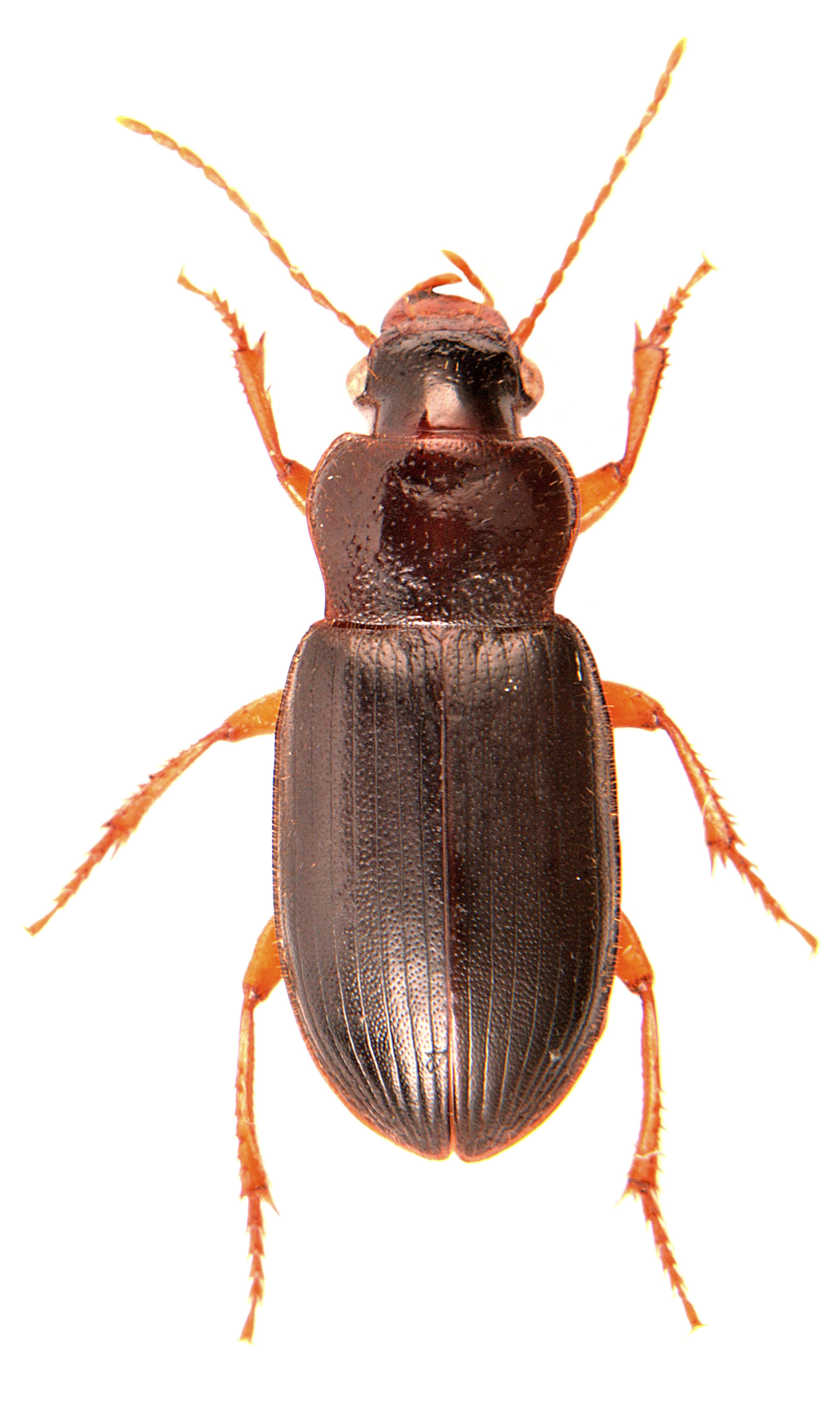 Ophonus rufibarbis 1