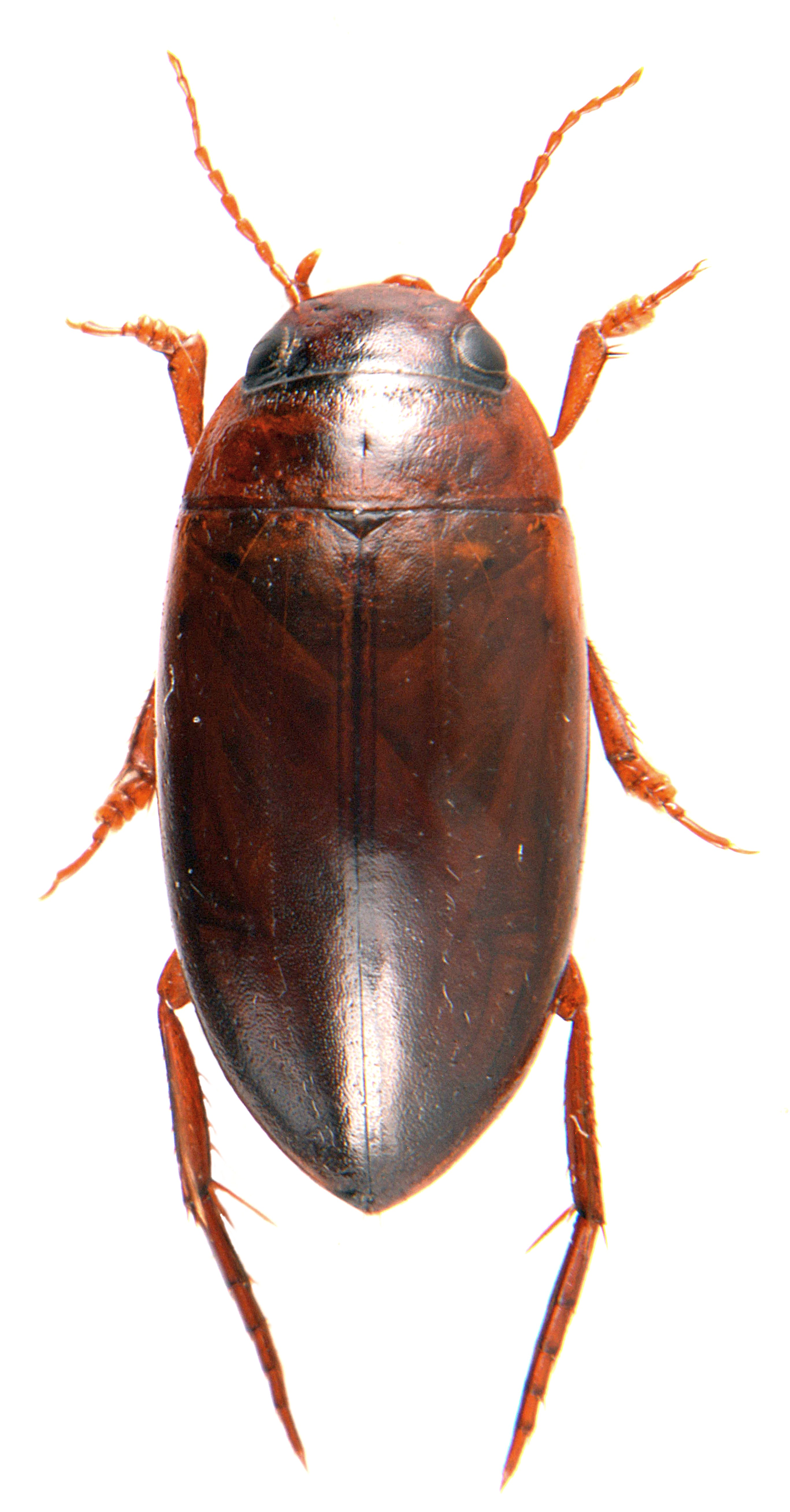 Liopterus haemorrhoidalis ♀