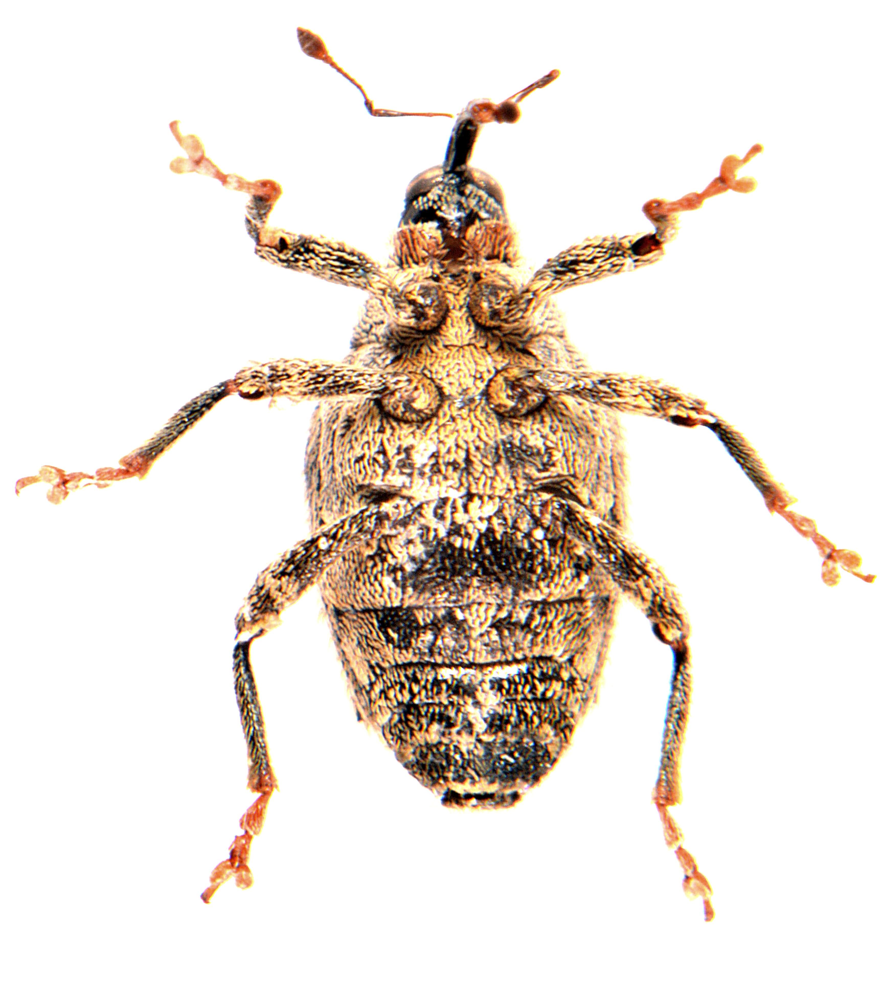 Ceutorhynchus pallidactylus 3