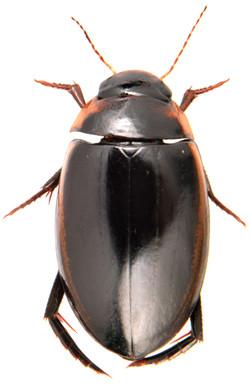 Hydaticus seminiger 2