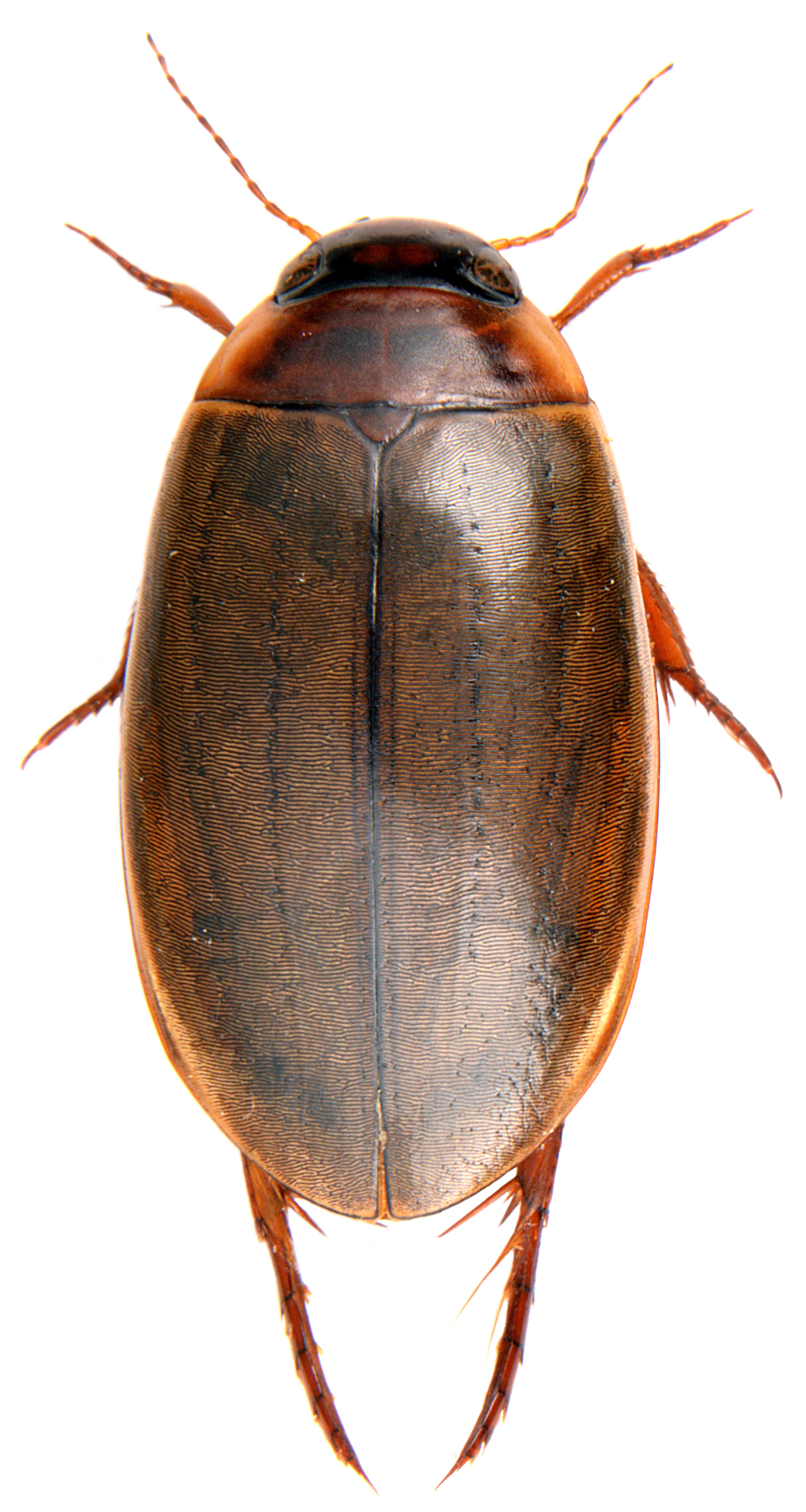 Colymbetes fuscus ♀